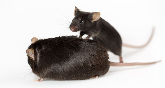 Modelling gut-brain interactions in gnotobiotic mouse models